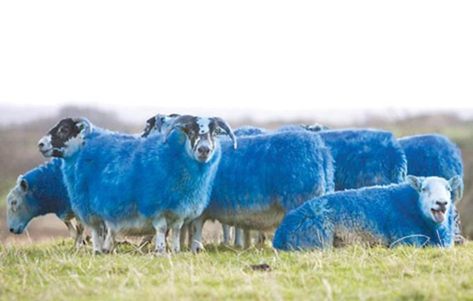 Blue-sheep_20101119075009.jpg